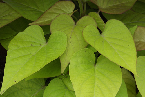 Ipomea (Potato Vine)